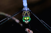 Blue Dasher dragonfly, Lost Valley, Buffalo National River, Arkansas