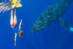 Woman snorkeler and curious humpback whale, Megaptera novaeangliae, Hawaii, USA, Pacific Ocean