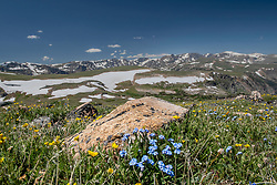 Tundra wildflowers on Beartooth Pass. The Beartooth Scenic Byway an All American Road provides many mountain vistas and seasonally wildlflowers.
