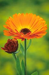 Calendula officinalis 'Indian Prince'. English or pot marigold.