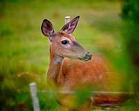Doe looking into the patio. Image taken with a Fuji X-T3 camera and 200 mm f/2 OIS lens.