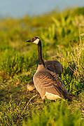 USA, Oregon, Baskett Slough National Wildlife Refuge, Canada Goose (Branta canadensis) family.