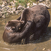 Two of the three Alaska brown bear (Ursos arctos) siblings wrestling in muddy water in a roadside ditch near the Angoon garbage dump, Admiralty Island, Southeast Alaska, USA.<br />