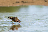 Long-billed Dowitcher, Limnodromus scolopaceus, feeding in shallow water at the edge of a lake in the Riparian Preserve at Water Ranch, Gilbert, Arizona