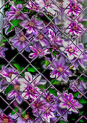 CLEMATIS AT HOME