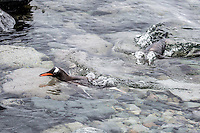 Gento Penguins swimming and splashing about in Antarctica.