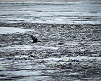 European Shag flying over the Saltstraumen near Bodø, Norway. Image taken with a Nikon D800 camera and 180 mm f/2.8 lens (ISO 125, 180 mm, f/2.8, 1/250 sec).