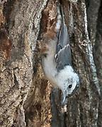 White-breasted nuthatch male, Rio Grande Nature Center, Albuquerque, New Mexico.  (Sitta carolinensis)