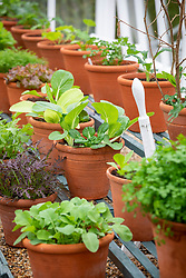 The winter salad leaf collection in a glasshouse at West Dean including Pak Choi 'Colour Crunch'