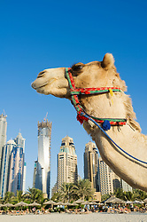 Camel on beach at Jumeirah with new high-rise buildings in New Dubai in United Arab Emirates