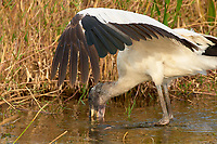 Wood Stork, (Mycteria americana) shades the water with it's wing while searching for food, Arthur R Marshall National Wildlife Reserve - Loxahatchee, Florida, USA