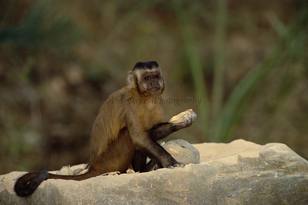 Brown Capuchin Monkey with open palm nut<br />Cebus apella<br />Cerrado Habitat, Piaui State.  BRAZIL.  South America<br />These monkeys use rocks to crack open palm nuts - returning regularly to the anvils to do so.