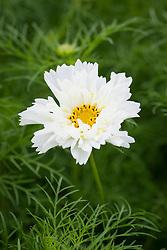 Cosmos 'Sugar Puff' now used as Cosmos bipinnatus 'Fizzy White'