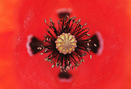 Poppy, Papaver sp.   La Serena, Extremadura, Spain