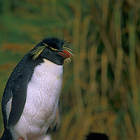 An American Southern Rockhopper Penguin (Eudyptes chrysocome chrysocome) stands amid tussock grass at New Island in the Falkland Islands.