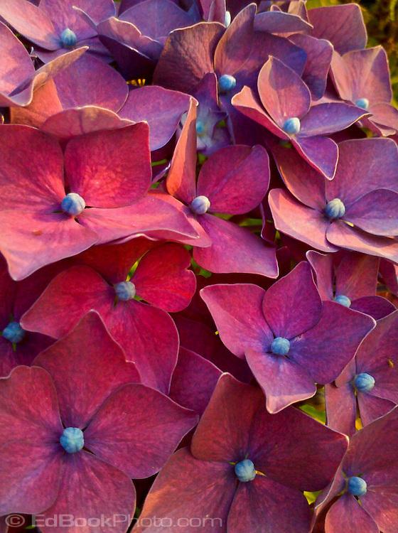magenta hydrangea flowers