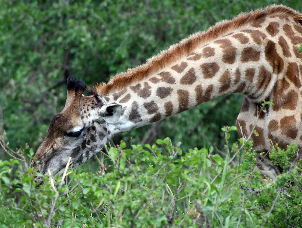 A female Maasai giraffe  (Giraffa tippelskirchi, Giraffa camelopardalis tippelskirchii) picks green leaves from the top of a thorny shrub. Serengeti National Park, Tanzania.