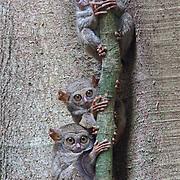 Spectral tarsiers in Tangkoko National Park, Sulawesi.