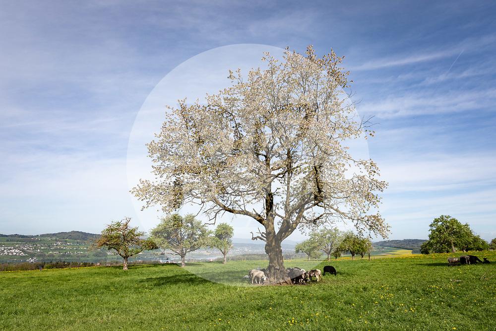 SCHWEIZ - BETTWIL - Schafe unter blühenden Hochstamm-Bäume am Hallwilersee - 24. April 2019 © Raphael Hünerfauth - https://www.huenerfauth.ch