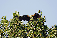Kaiseradler pflückt grünen Zweig, Aquila heliaca, Ost-Slowakei / Eastern Imperial Eagle plucking green twig for the nest, Aquila heliaca, East Slovakia