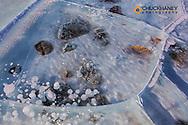 Methane ice bubbles under clear ice on Abraham Lake near Nordegg, Alberta, Canada