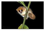 Goodman's mouse lemur from Andasibe NP, Madagascar. Nikon D850, 70-200mm @ 200mm, f11, 1/200sec, ISO800, SB900 fill-in flash, Manual modus