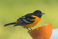 A Baltimore Oriole poses on top of an orange
