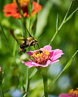 Snowberry Clearwing Moth (Hemaris diffinis) on a Zinnia Flower. Image taken with a Nikon 1 V3 camera and 70-300 VR lens