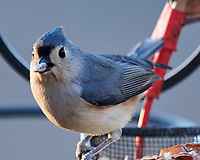 Tufted Titmouse (Baeolophus bicolor). Image taken with a Nikon D850 camera and 600 mm f/4 VR lens