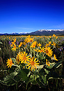 Arrowleaved Balsamroot cover the foothills of the Beartooth Mountains, Montana.