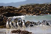 Pingüinos de Magallanes / Chiloé / Chile.<br /> <br /> Edición de 10   Víctor Santamaría.