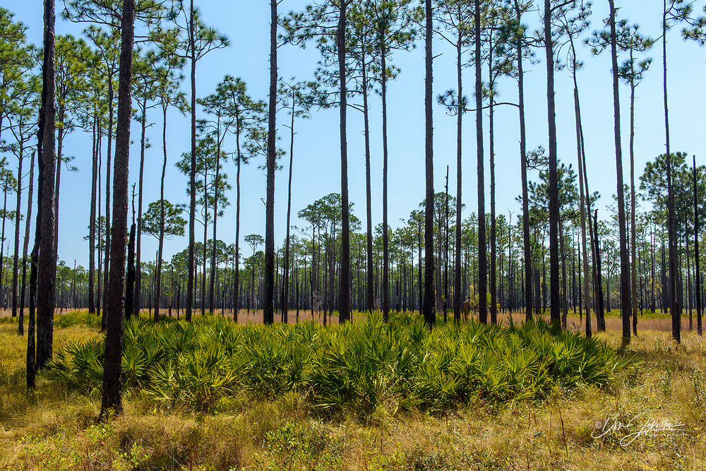 Saw palmetto in the understory of a Long leaf pine woodland, Ochlockonee River State Park, Florida, USA