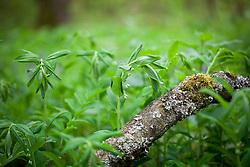 Solomon's Seal growing wild in a woodland. Polygonatum multiflorum