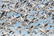 Flying flock of Snow Geese created into a beautiful blur by a slow shutter speed