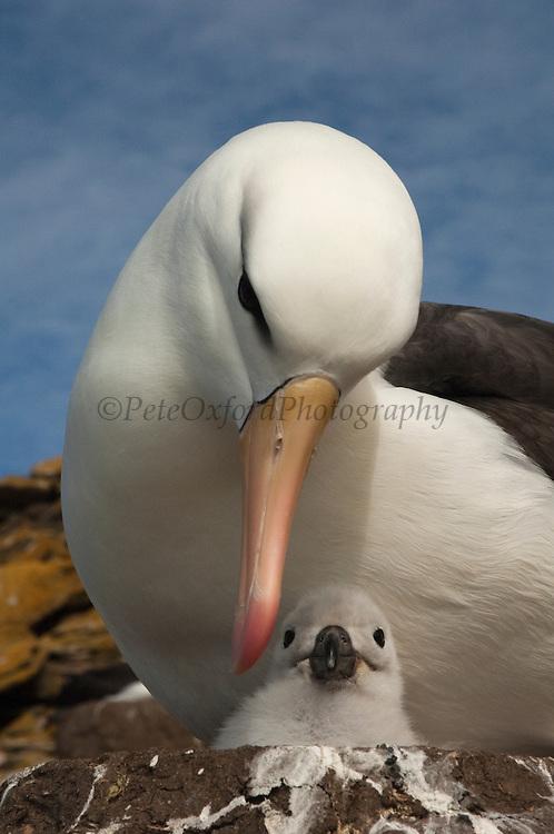 Black-browed Albatross (Thalassarche melanophrys) with chick<br /> Saunders Island. Off north coast of West Falkland. FALKLAND ISLANDS.<br /> LISTED AS ENDANGERED
