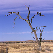 Whitebacked Vulture, (Gyps bengalensis) Perched in dead acacia tree in Kalahari Desert. Africa.