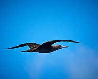 Brown Booby (dark belly). Viewed from the deck of the MV World Odyssey. Image taken with a Nikon 1 V3 camera and 70-300 mm VR lens (ISO 160, 124 mm, f/8, 1/1000 sec).