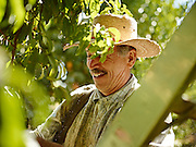 Farmer with a straw hat working on a peach orchard in California shot as a Environmental Portraiture on a PhaseOne IQ180