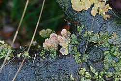 Waaiertje, Schizophyllum commune