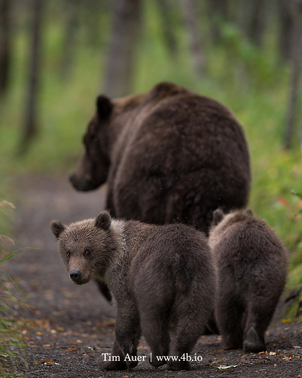 A family of brown bears take a stroll on a path into the woods, while the little one gives an inquisitive glance back. In Katmai National Park, Alaska. Sept 2014
