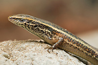 Four-fingered skink, Carlia sp., from the Baucau district of Timor-Leste (East Timor). A previously undescribed species, tentatively called Carlia species 4.  (Specimen HK549)