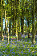 Dappled sunlight in bluebell wood and beech trees in late Spring / early Summer in Wiltshire, England, UK