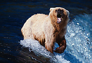 Blond Brown Bear vocalizing at brink of Brooks Falls, Katmai National Park, Alaska.