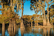 Cypress trees growing in the waters of Henderson Swamp with fall colors. B;ue Sky Sunny day