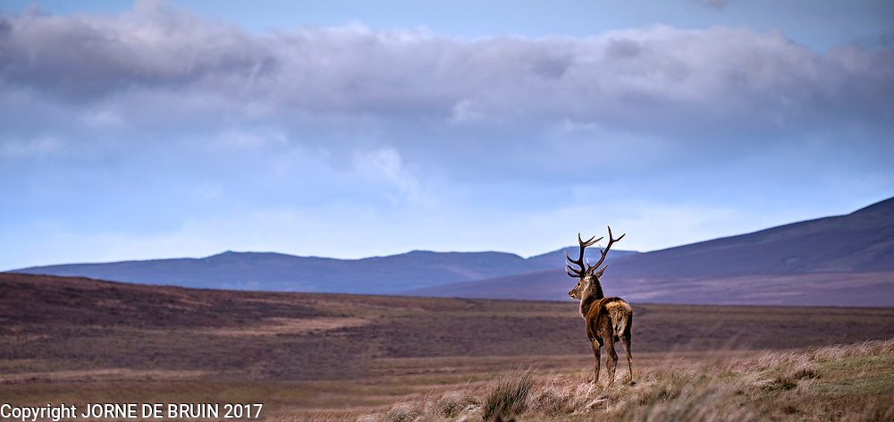 A wild male Red deer looks out over a Glen in Sutherland, Scotland.