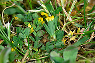 SLENDER TREFOIL Trifolium micranthum (Fabaceae) Height to 10cm. Upright, slender annual that is easily overlooked. Favours dry, grassy places, mainly on sandy or gravelly soils. FLOWERS are 2-3mm long and deep yellow; borne in long-stalked heads of 2-6 flowers (May-Aug). FRUITS are brown pods. LEAVES are trifoliate with short-stalked leaflets. STATUS-Widespread but only locally common.