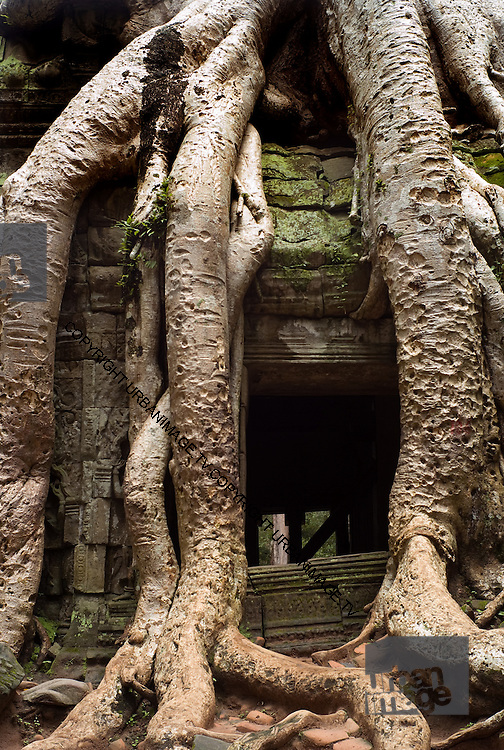 Giant Strangler Fig at Angkor