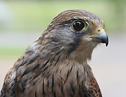 Portrait of a young Kestrel (Falco tinnunculus). Captive bird. Woodchurch, Kent, UK.
