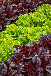 Lettuce Batavia Green and Red