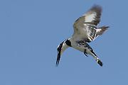 Pied Kingfisher (Ceryle rudis) Israel Spring June 2007